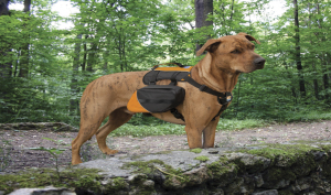 Pack dog picture--small 300x177
