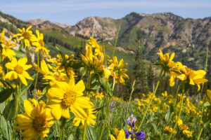 Stay Wild: The 10 Most Common Wildflowers in the Wasatch