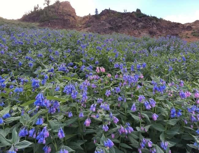 Wasatch Wildflower Bluebellspng