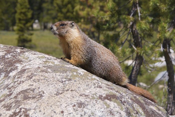 Yellow-bellied marmot in Tuolumne Meadows Yosemite