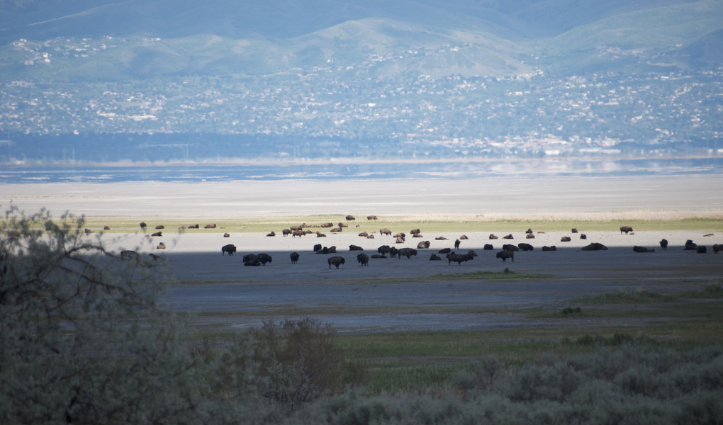 Bison Herd on the Island