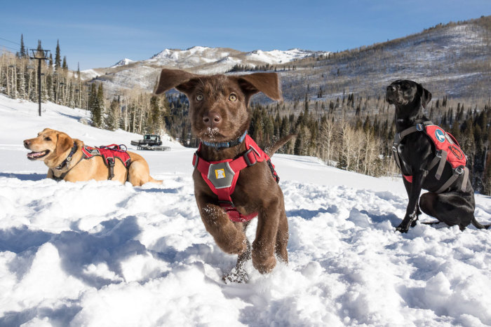 Utah's Newest Avalanche Puppies thumbnail